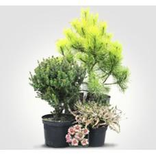 Хвойные деревья и декоративные кустарники (0)
