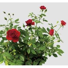 Садовые розы (0)