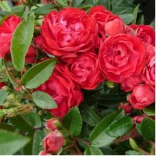 """Роза  """"MAIDI"""""""